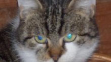 Hédi a legfélénkebb cica
