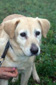 Shiva gazdit/ideiglenes befogadót keres! Shiva is looking for home/foster home