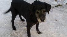 Lola labrador retriever gazdát keres