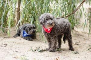 gazdikereső kutyus Ádáz és Buksi