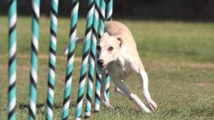 Kutyasuli: kedvencünk az agility pályán