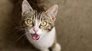 Macskapanasz – miért nyávog cicánk éjszakánként?