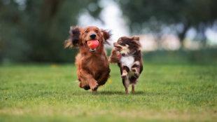 Falka-gondok, amikor uralomra tör az egyik kutyusunk