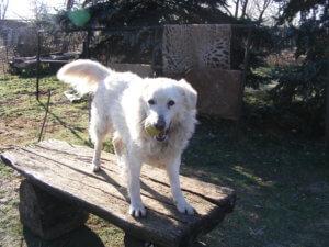 gazdikereső kutyus, Tappancs