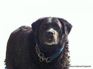 Liza labrador retriever gazdát keres