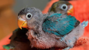 Papagájfióka a háznál – hogyan vigyázzunk az egészségére