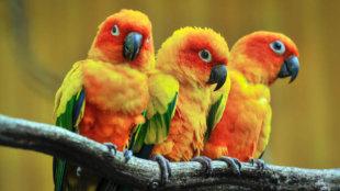 Papagáj kisokos