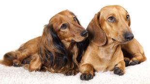 Hosszú szőr, rövid szőr: előnyök és hátrányok