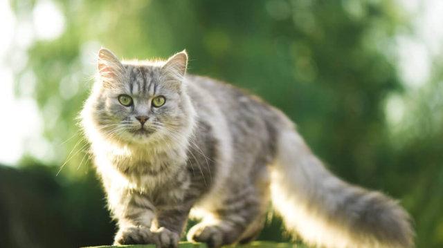Így vigyázz cicádra a kánikulában