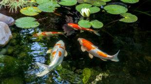 Milyen halfajokat telepítsünk kerti tóba?