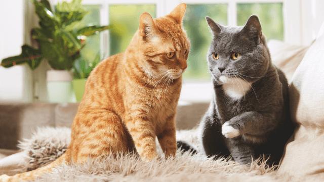 A macskák társas kapcsolatai