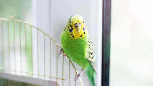 Lakásban könnyen tartható madarak