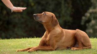 Mit érdemes minden családi kutyának megtanulnia?