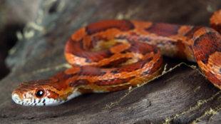 Kígyó, mint házikedvenc
