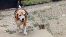 Picur – beagle
