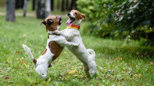 Mit tegyünk, ha kutyusunk csúnyán játszik a társaival?