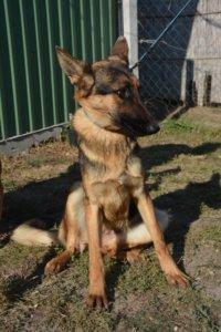Léda, a fiatal német juhász jellegű szuka kutya keresi az Álomgazdiját!