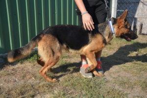 Mira, a fiatal német juhász jellegű szuka kutya Álomgazdit keres!!!