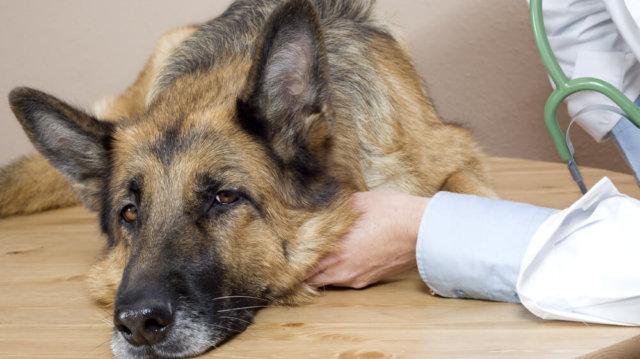 Fontos tudnivalók a kutyaepilepsziáról