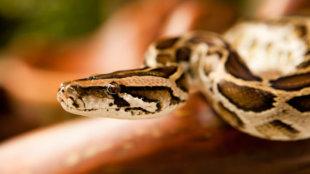 Különleges háziállatok: a kígyók