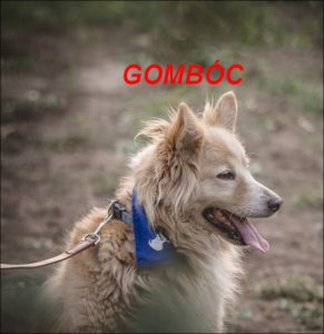 gazdikereső kutyus, Gombóc