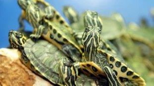 Kis teknősök megfelelő gondozása