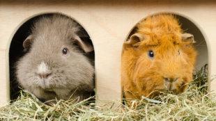Kisemlősök: párban vagy magányosan?