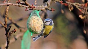 Ínycsiklandó téli madárcsemegék