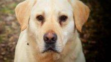 Maxi labrador retriever gazdát keres