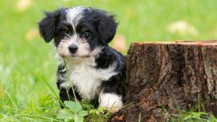 Kullancs terjesztette betegségek és tüneteik – vigyázzunk kiskutyánkra!