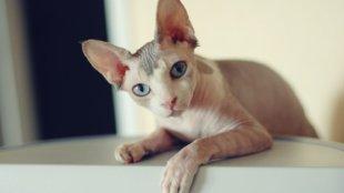 Szőrtelen macskafajták