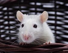 Egér és patkány