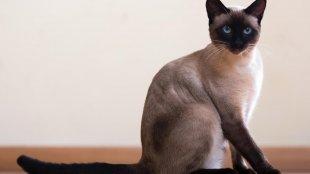 Az 5 leggyakoribb macskafajta