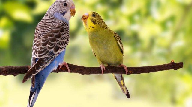 Ettől lesz boldog a hullámos papagájod