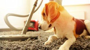Hogyan szoktassuk hozzá kutyusunkat a porszívóhoz?