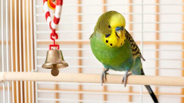 Helyes táplálás: mivel etessük hullámos papagájunkat?
