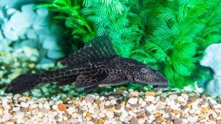 Az akvárium takarítója: algaevő harcsa