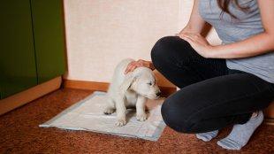 Hogyan szoktassuk pelenkára a kutyusunkat?
