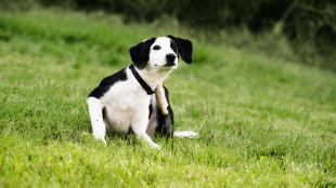 Allergiára utaló jelek kutyáknál