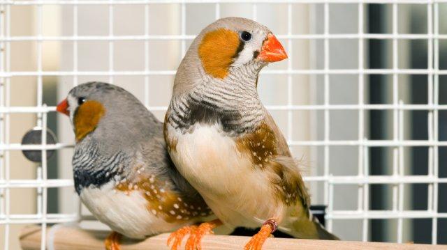 Csendes papagájfajták