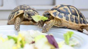 Szabadon a lakásban – szárazföldi teknősök