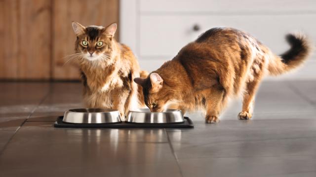 Etetési tippek cicáknak a nyárra