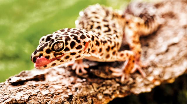 segít a leopárd gekkónak a fogyásban