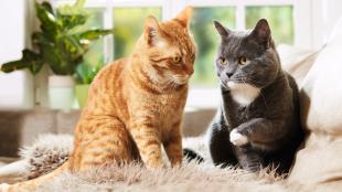 Allergiára utaló jelek cicáknál