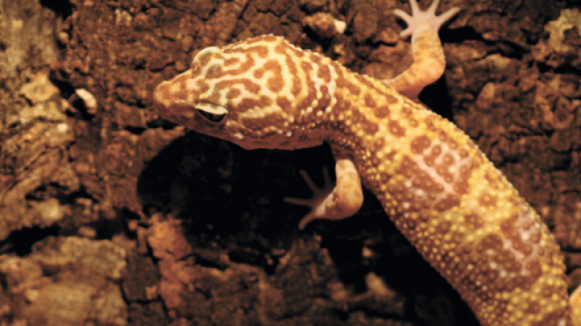 Változatos táplálkozási tippek gekkók számára