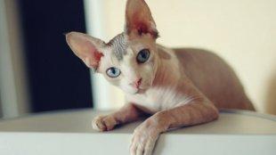 A szőrtelen macskafajták gondozása