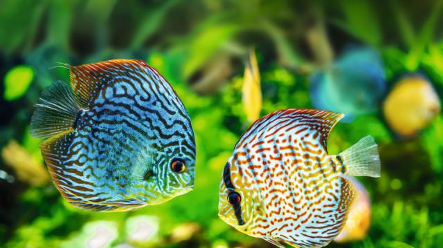 Halak társítása egy akváriumban – mire kell odafigyelnünk?