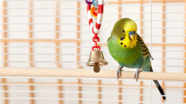 Szüntelen rikácsolás – mikortól számít túl zajosnak a papagájunk?