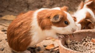 5 indok, amiért a tengerimalac nagyszerű háziállat
