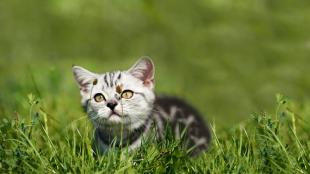 Miért rágcsál a macskánk füvet?